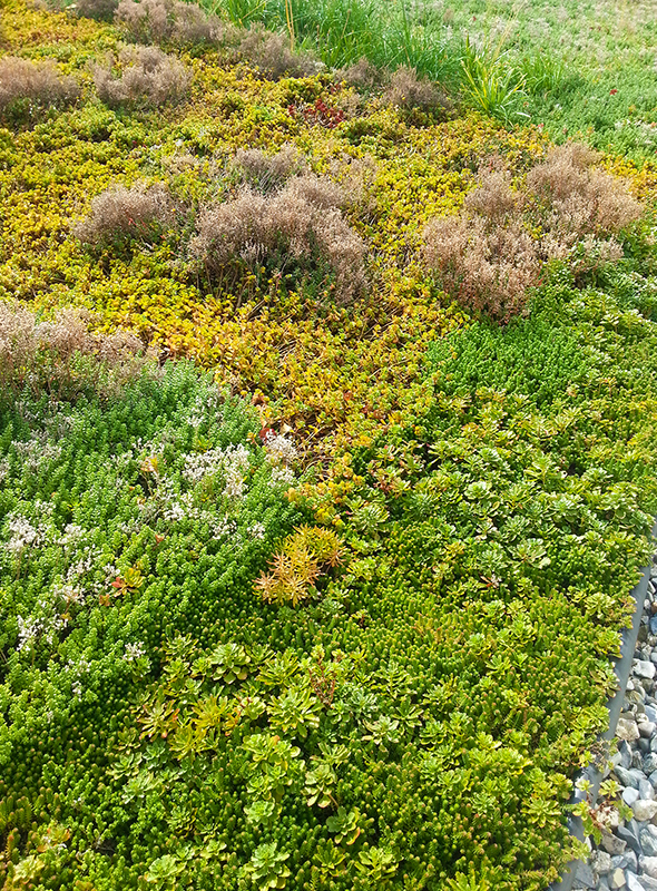 BRAC Green Roof Row 5 left
